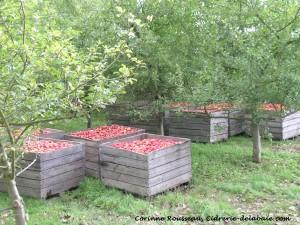 Les pallox en bois servent à stocker les pommes, ainsi elles ne s'abiment pas et continue de mûrir si nécessaire