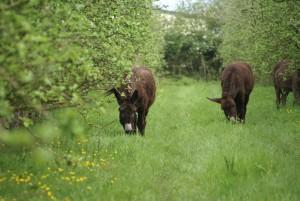 Korrig'âne les ânes dans le verger