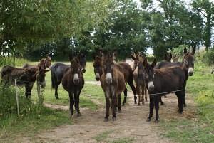 Le troupeau d'ânes