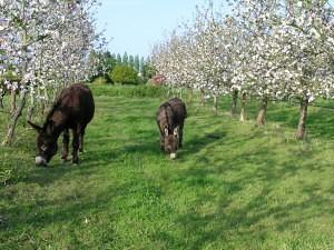 les ânes paturent dans le verger