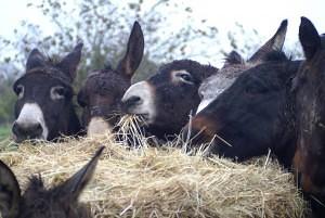 les ânes sont au foin l'hiver
